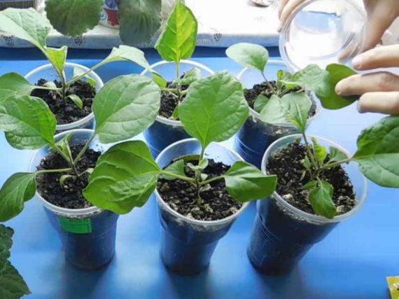 Удобрения для баклажанов — подкормка при выращивании