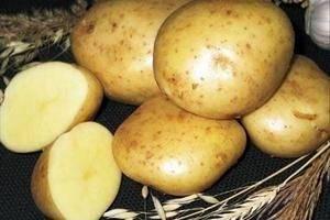 Картофель ласунок: описание и характеристика сорта, особенности выращивания, отзывы. картофель «ласунок» — классический сорт, не теряющий популярности