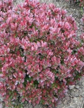 Барбарис: выращивание и уход, описание сортов с характеристикой и отзывами, фото