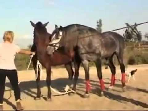 Процесс спаривания лошадей от а до я: что нужно знать коневладельцам? |