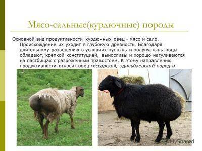 ᐉ порода овец суффолк: описание и характеристика - zooon.ru
