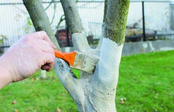 Побелка деревьев: зачем, когда и как производить побелку?