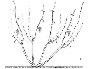 Обрезка винограда изабелла осенью, формирование старой лозы