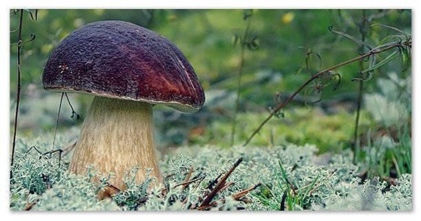 Белый гриб - советы по выращиванию и содержанию в домашних условиях (видео + 105 фото)