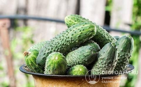 Описание огурцов Артист F1: выращивание и отзывы овощеводов