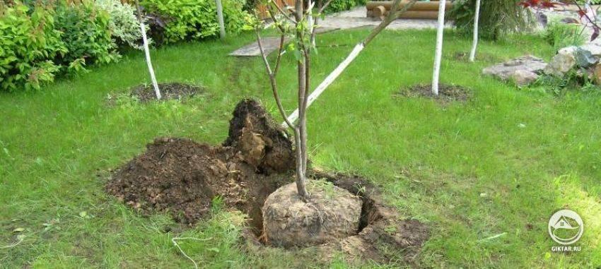 Пересадка деревьев: когда и как лучше пересаживать