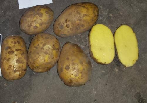 Картофель джелли: описание сорта, характеристика, урожайность, отзывы, фото