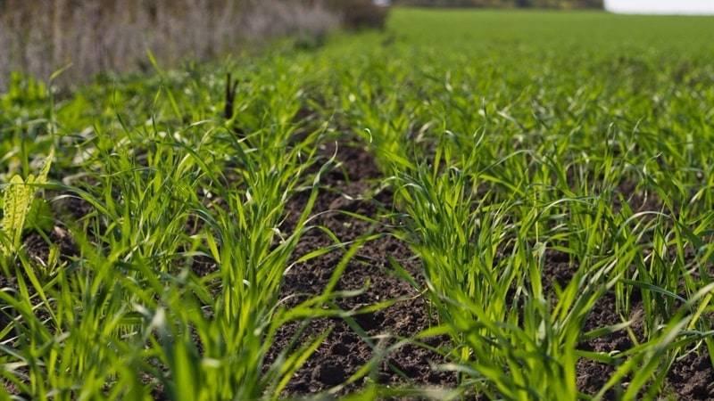 Технология выращивания озимых: сроки посева, как правильно посадить и выращивать культуры, посаженные под зиму
