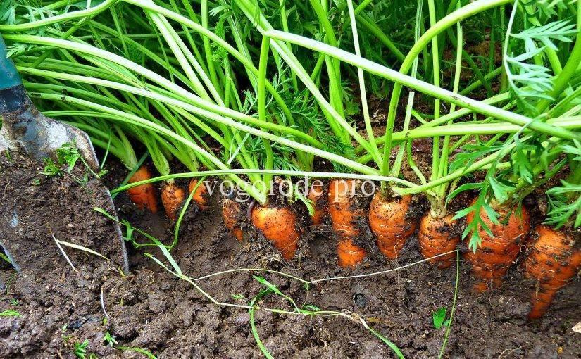 Когда сажать морковь на семена: нюансы и советы