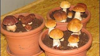 Как вырастить белые грибы дома на подоконнике (+15 фото)?