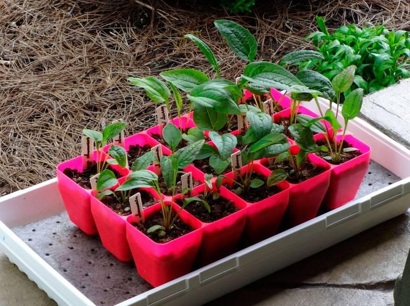 Эхинацея — как сажать и выращивать, особенности ухода