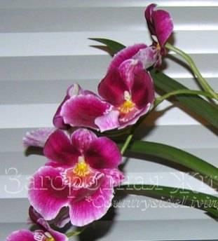 Мильтония (45 фото): советы по уходу за орхидеей в домашних условиях, пересадка цветка, виды и их названия