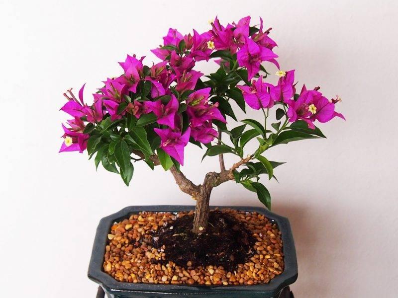 Бугенвиллия: выращивание и уход в домашних условиях, размножение цветка, обрезка, пересадка