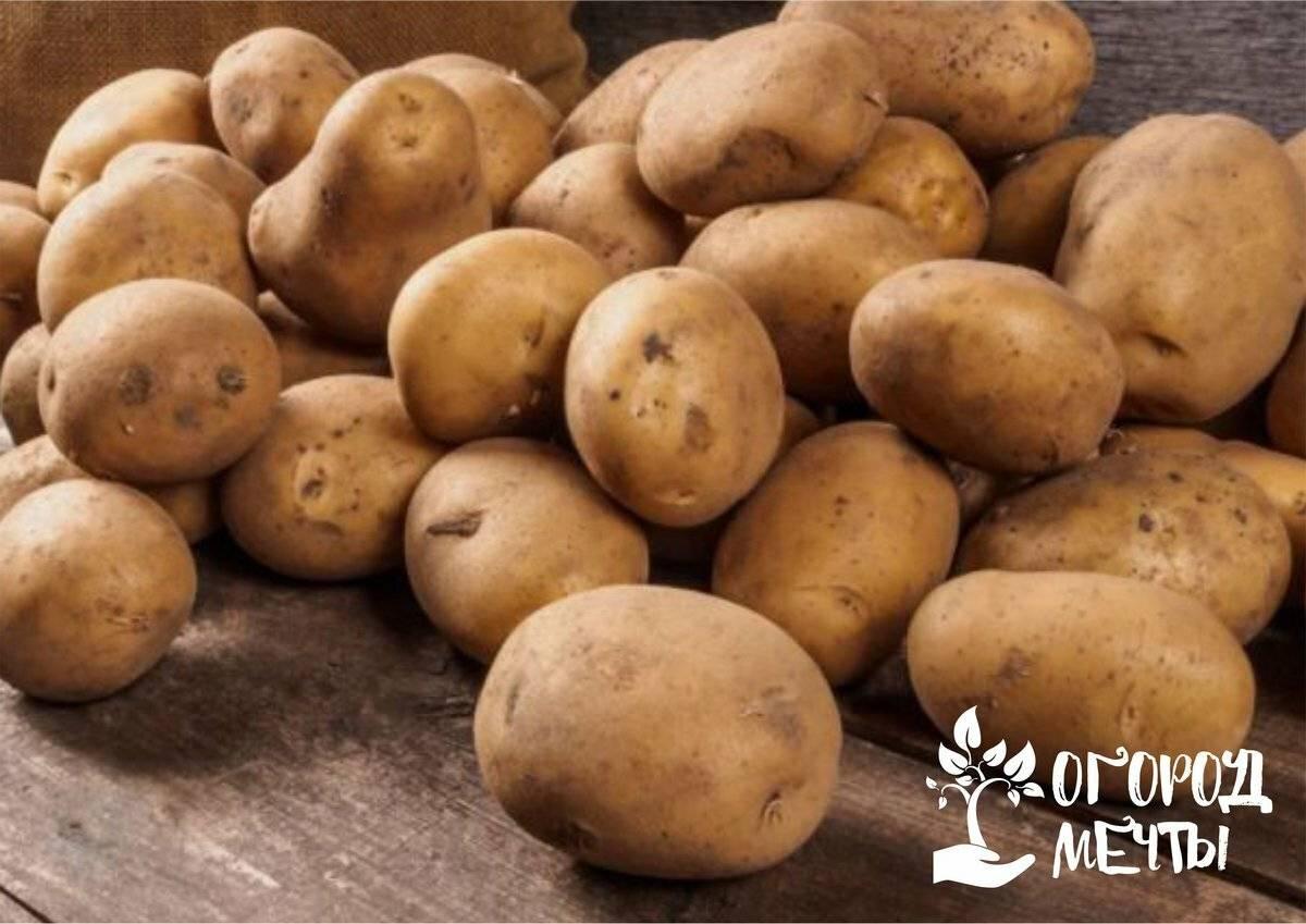 8 лучших способов проращивания картофеля для посадки в грунт