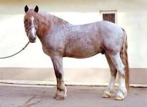 Чалая лошадь (19 фото): как выглядит конь чалой масти? какой цвет преобладает в окрасе чалых лошадей?