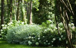 Дерен белый элегантиссима: описание, посадка и уход, фото