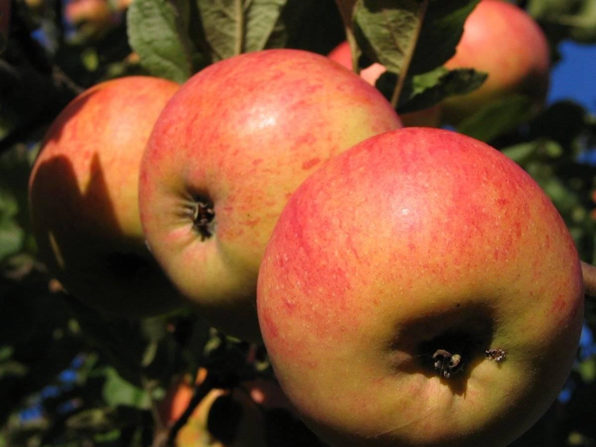 Плюсы и минусы яблони сорта штрейфлинг, посадка и уход
