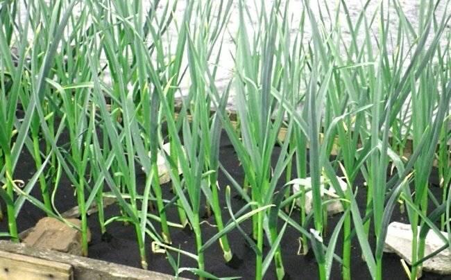 Чем подкормить чеснок, чтобы он был крупным: органические и минеральные удобрения, народные средства