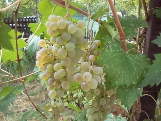 ᐉ сорт винограда нимранг магарача - roza-zanoza.ru