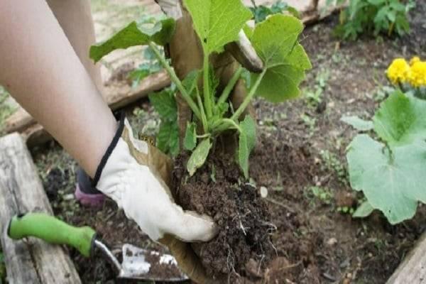 Уход за кабачками в открытом грунте и возможные трудности