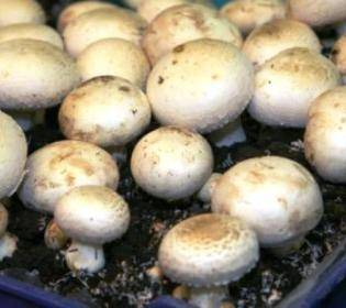 Выращивание грибов в домашних условиях для новичков: особенности и правила