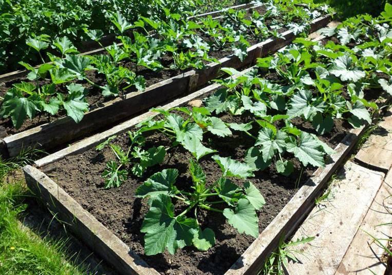 Как сажать кабачки рассадой в открытый грунт – дачные дела