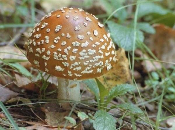 Королевский мухомор (описание и фото): гриб редкий и ядовитый