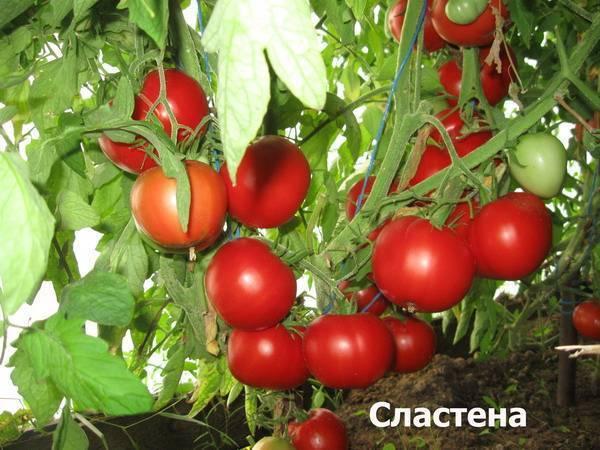 Скороспелый томат под названием агата. особенности сорта, описание агротехники и мнения огородников