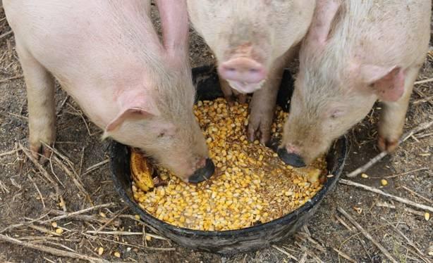 Как приготовить питательный и полезный корм для свиней? опара, дрожжевание, силосование, осолаживание. фото — ботаничка.ru