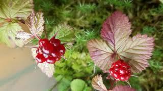 Княженика — царская ягода севера