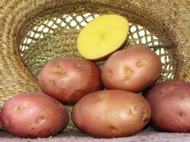 Сорта картофеля: описания, фото, отзывы