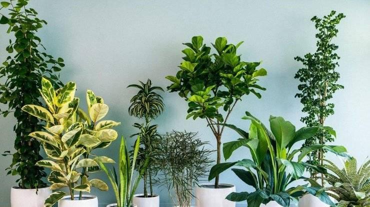 Пестролистные комнатные растения и изменение их окраски