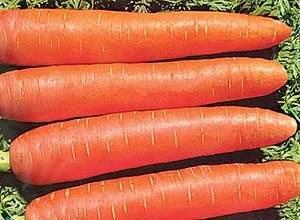 Лучшие сорта семян моркови для сибири