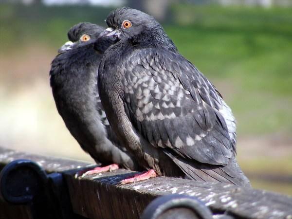 По каким признакам можно определить пол голубя?