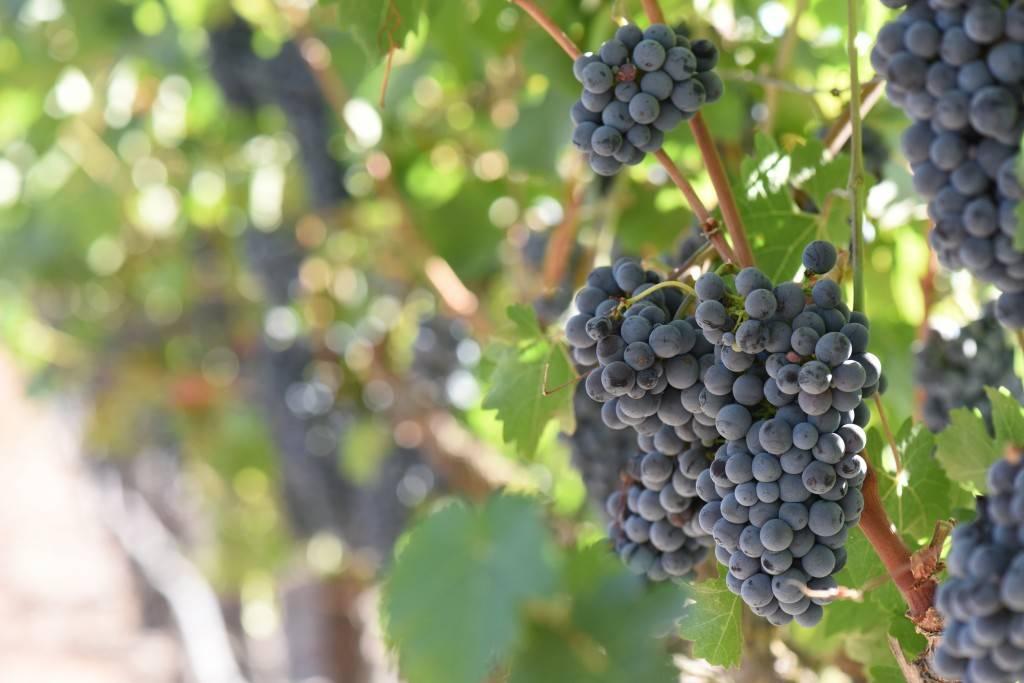 Виноград потапенко: сорта, описание, фото, отзывы — selok.info