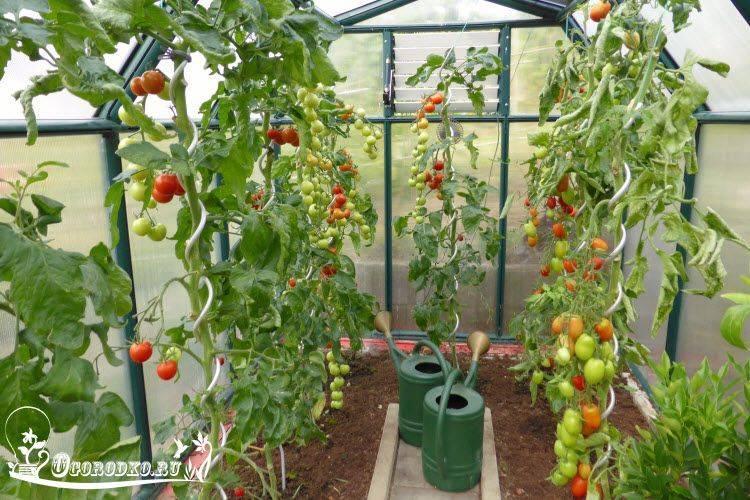 Как часто и правильно поливать томаты в домашних условиях и в открытом грунте