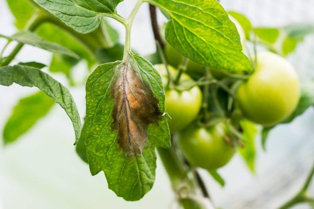 Что делать с желтыми пятнами на листьях помидоров