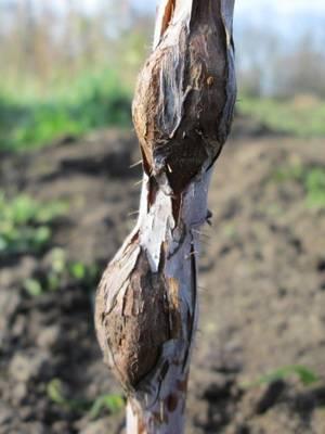 Обрабатываем правильно малину весной от болезней и вредителей: мочевина и железный купорос