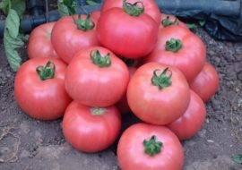Где и как лучше выращивать томат «розовый мед»