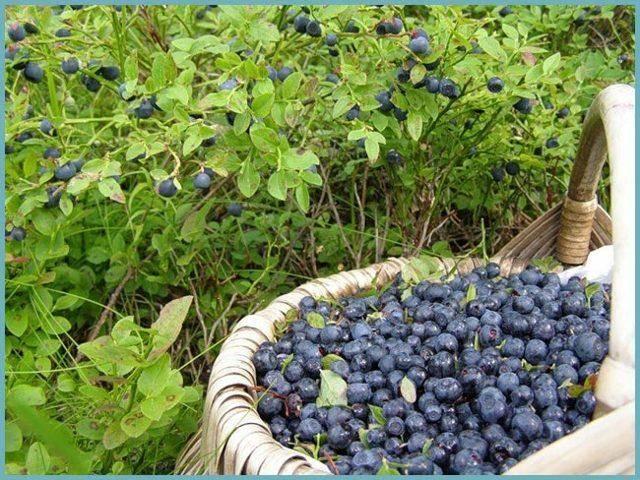 Черника садовая: посадка и уход, фото, отзывы