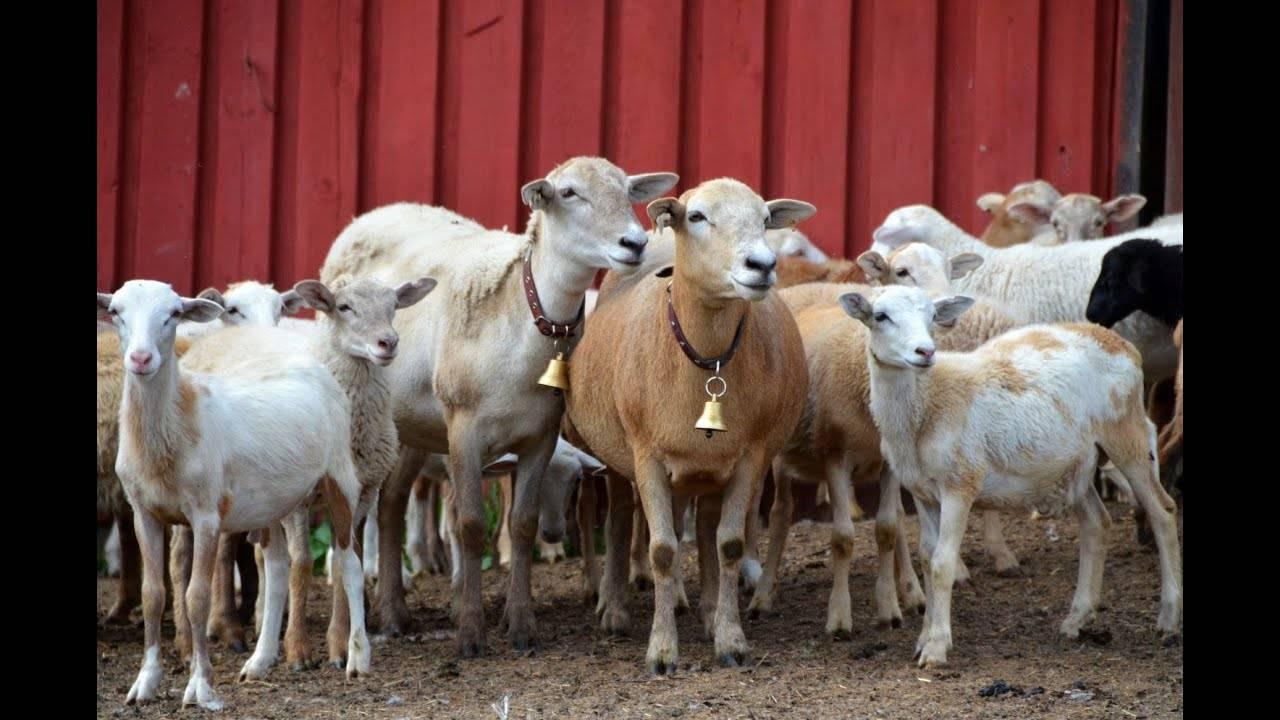 Гладкошерстные катумские овцы — описание, продуктивность, разведение в домашних условиях