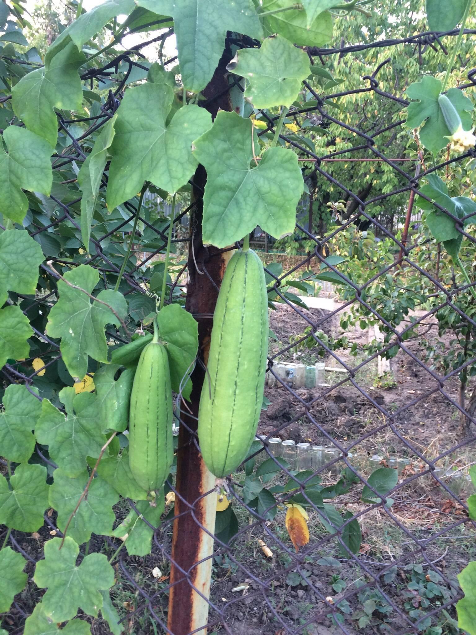 Люффа выращивание из семян в домашних условиях, уход в открытом грунте