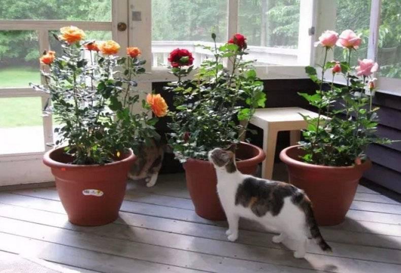 Комнатная роза – уход в домашних условиях, выбор освещения, как обрезать, пересаживать и размножать цветок