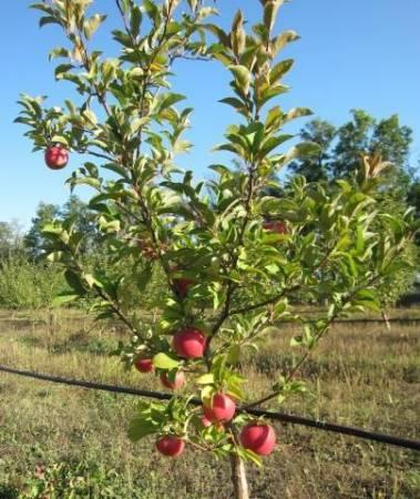 50 фото и описание яблони «айдаред», ? посадка, уход, ее полезные свойства и противопоказания