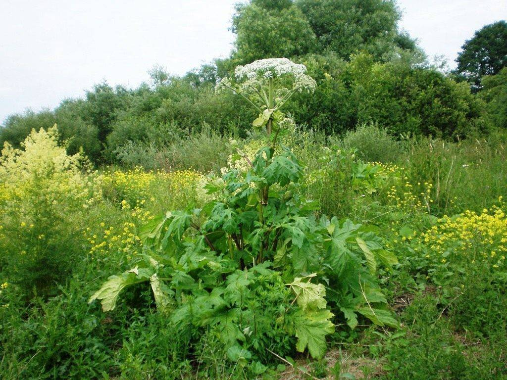 Ядовитый борщевик: как выглядит, фото растения, чем опасен