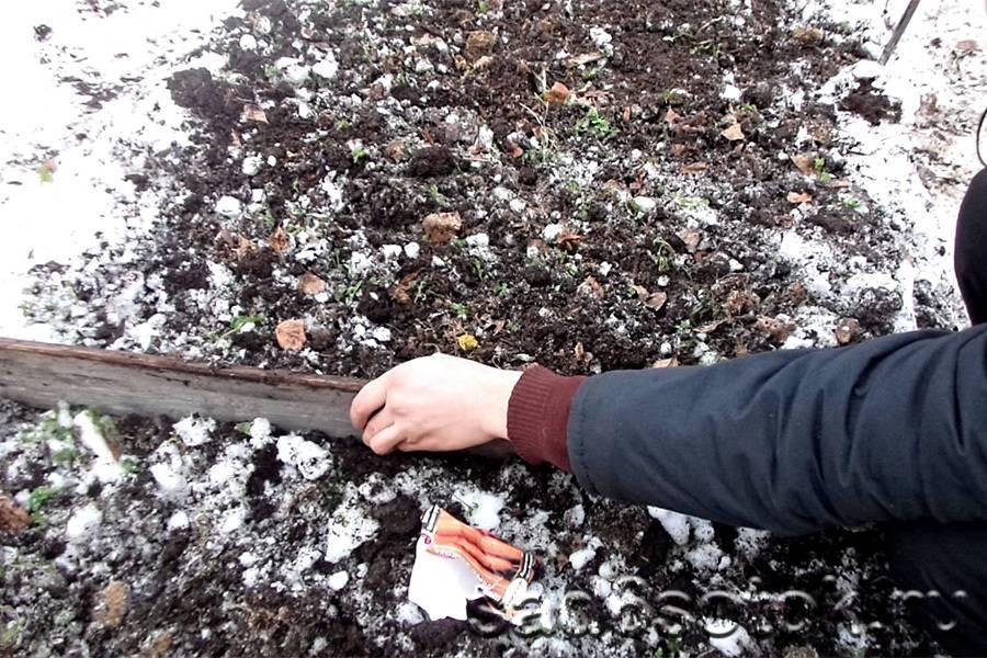 Посадка моркови под зиму - сроки посадки, сорта моркови