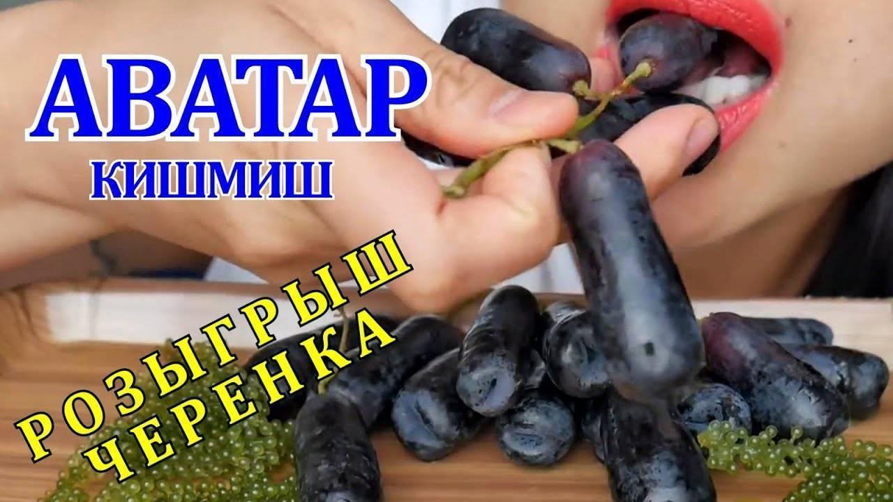 Виноград ведьмины пальцы: подробное описание сорта, его особенности и характеристики selo.guru — интернет портал о сельском хозяйстве