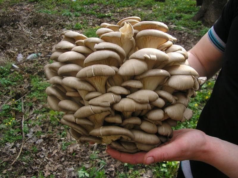 Вешенки грибы , где растут и как выглядят. разновидности вешенок. описание полезных свойств