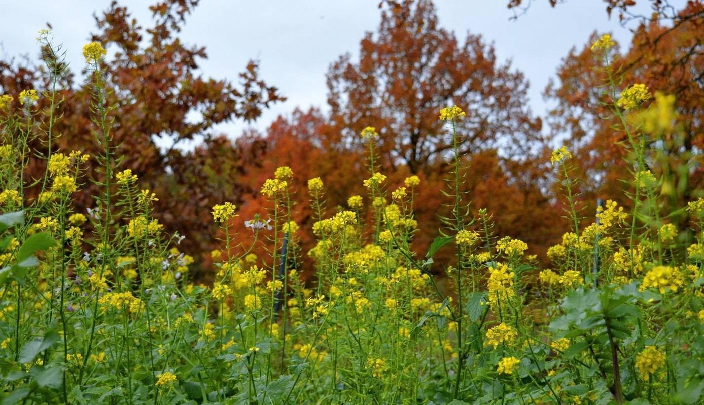 Сидераты: когда сеять и закапывать, выбор лучших для огорода