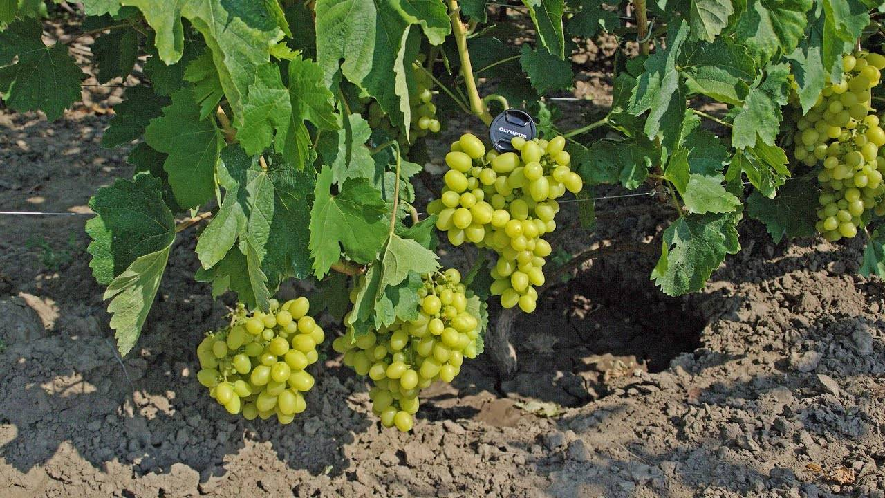 ᐉ сеянец продюсера - гибридная форма винограда - roza-zanoza.ru